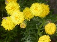 Bright yellow flowerheads and leaves