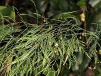 Asparagus virgatus. Photo Dr Wynand Uys