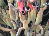 Cotyledon tomentosa subsp.ladismithiensis