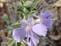Flowers of barleria bremekampii