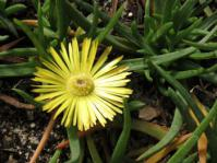 Cephalophyllum parviflorum in flower
