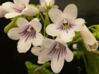Streptocarpus parviflorus closeup of flowers