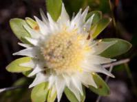 Diastella thymelaeoides subsp. meridiana. Photo: Carina Lochner