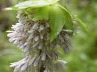 Eucomis bicolor inflorescence