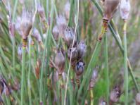 Willdenowia teres