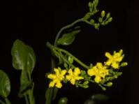 Villarsia goldblattiana