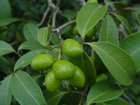 Vepris reflexa fruits and leaves