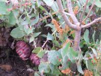 Protea amplexicaulis
