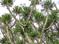 Euphorbia grandidens. Photo Geoff Nichols