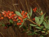 Searsia pondoensis