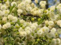 Vachellia robusta subsp. robusta. Photo Glenice Ebedes
