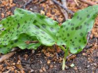 Ledebouria petiolata