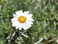 Eumorphia prostrata