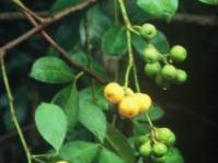 Fruits of Toddalia asiatica