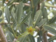Sterculia alexandri