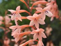 Watsonia tabularis, pink