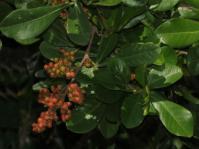 Searsia lucida (Brian KD)