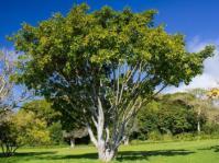 Ficus polita