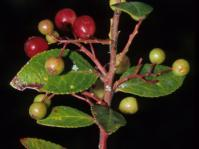 Vaccinium exul fruiting branch (M.Lötter)