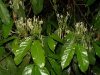 Oxyanthus pyriformis flowers and foliage (Geoff Nichols)
