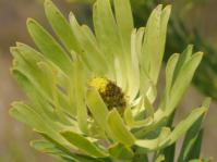 Leucadendron chamelaea, female.