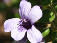 Dyschoriste thunbergiflora