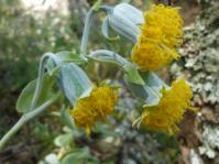Kleinia chimanimaniensis flowerheads