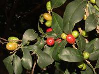 Teclea gerrardii fruits (Geoff Nichols)