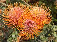 Leucospermum vestitum, orange-red flowerheads