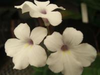 Streptocarpus meyeri