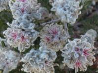 Trichocephalus stipularis flowerheads