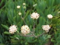 Small, discoid flowerheads in late winter, spring and early summer