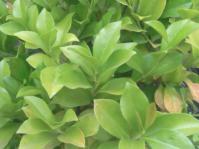 Buxus natalensis