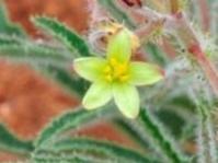 Jatropha zeyheri (Brenden Pienaar)