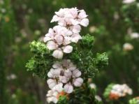 Euchaetis meridionalis