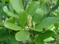 Searsia natalensis (Geoff Nicholls)