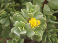 Othonna arbuscula
