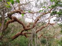 Commiphora harveyi in habitat, Oribi Gorge (Geoff Nichols).