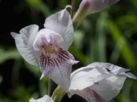 Gladiolus loteniensis (Ansell Matcher)