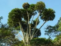 Cussonia sphaerocephala