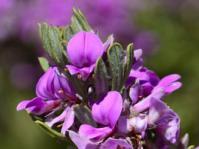 Indigofera flabellata (Adriaan Grobler)