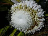 Protea cryophila