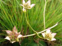 Alepidea natalensis
