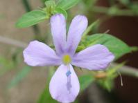 Barleria saxatilis, light mauve flowers with a yellow corolla tube