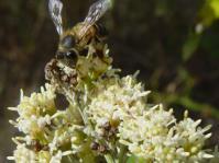 Brachylaena elliptica flowers are visited by bees (Geoff Nichols)