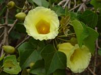 Thespesia acutiloba, lemon yellow hibiscus-like flowers in late summer. (Photo Geoff Nichols)