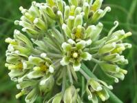 Cordylogyne globosa, rounded flowerhead