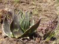 Ledebouria marginata. Verloren Valei.