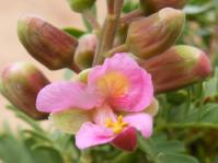 Caesalpinia bracteata