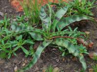 Ledebouria luteola